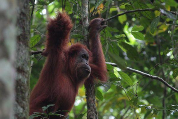 Орангутанги используют руки как мегафон