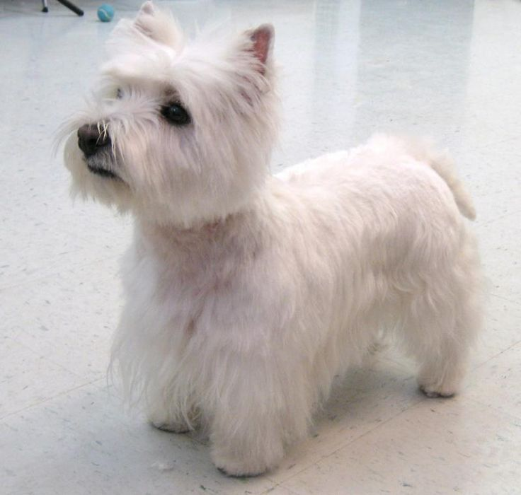 Should The Hair In A Westie Dog Ears Be Cut