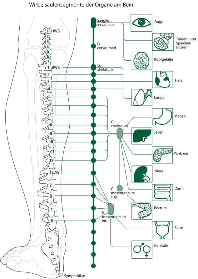 segmentos de la columna vertebral de las instituciones en la pierna