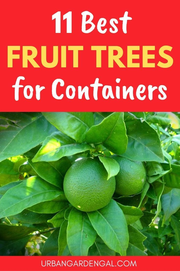11 Best Fruit Trees To Grow In Containers Urban Garden Gal Dwarf Fruit Trees Fruit Trees In Containers Small Fruit Trees