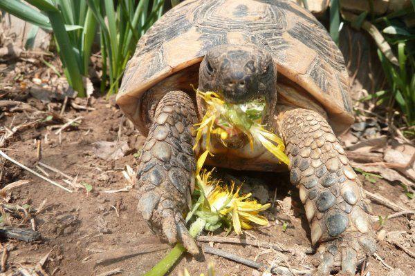 L'alimentation de votre tortue de terre doit passe par ces 9 plantes. Elles sont la base d'une bonne nourriture : venez les découvrir !