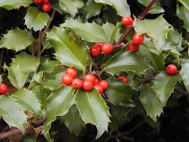 Ces houx ne sont pas tous à feuilles persistantes et épineuses.