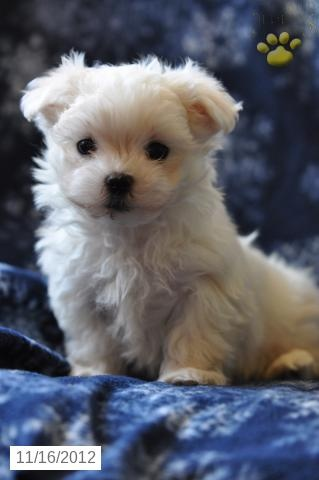 maltese puppy for sale in ohio lil piper maltese puppy for sale in millersburg oh 8376
