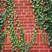 This is a guide about fast growing vines. If you have a long trellis, fence, or wall that you would like to cover with vegetation, consider a fast growing vine.
