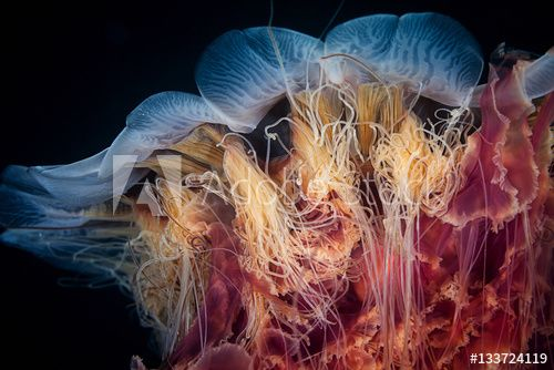 Close up of a lions mane jellyfish.