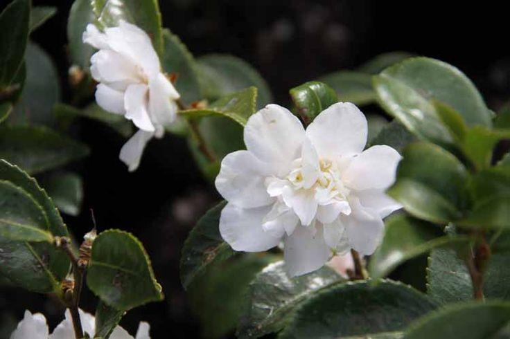 Camellia_White_Jenny