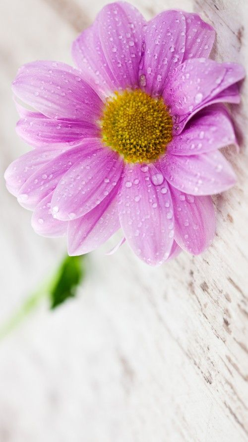 Flower Wallpapers For Mobile Phones With 1440x2560 And 5 Inch Screen