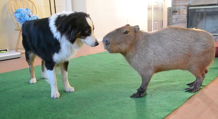 Capybara, world's largest rodent.  Height up to 2 feet, weight 77-150 pounds.