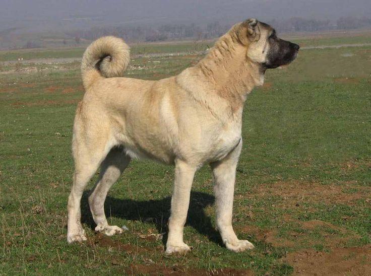 Порода собак Кангал –описание породы, происхождение, темперамент. Фотографии собак породы Кангал