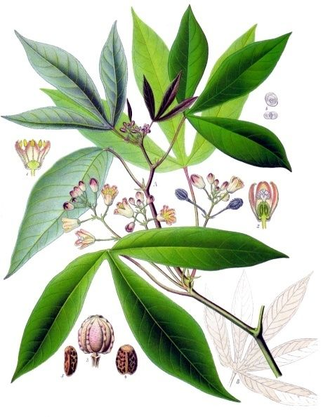 Manihot esculenta - Köhler–s Medizinal-Pflanzen-090 - Republic of the Congo -