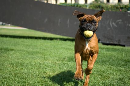 Boxer Dogs nolostdogs.org