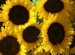 Sunflower favorite-flowers