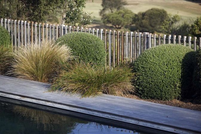 Fiona Brockhoff garden.  Poa or Tussock Grass and clipped balls of Tuecrium germander, Correa alba or Westringia fruticosa.