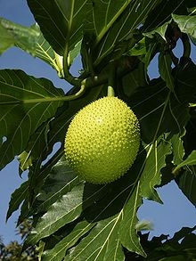 Breadfruit is the name for an evergreen tree in the mulberry family. Originally, the tree grew in Southeast Asia. It has been cultivated and is grown in the tropical and subtropical regions of Asia, Central and South America and the Caribbean. The tree can reach a height of up to 20 metres (66 ft). The breadfruit is the fruit of this tree. The fruits contain a lot of starch - much like potatoes; they are ground to make flour, which can then be used for baking.