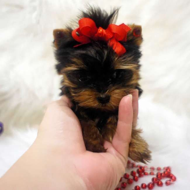 Sugar Butt - Micro Teacup Yorkshire Terrier. She most likely will be around 2.0 - 2.5 lbs. full grown. She is AKC registered, microchipped and comes with a one year health guarantee. To view other teacup Yorkies visit http://www.elvisyorkshireterrier.com/    UMMMMM cutest thing EVERRRR I would want one of these!