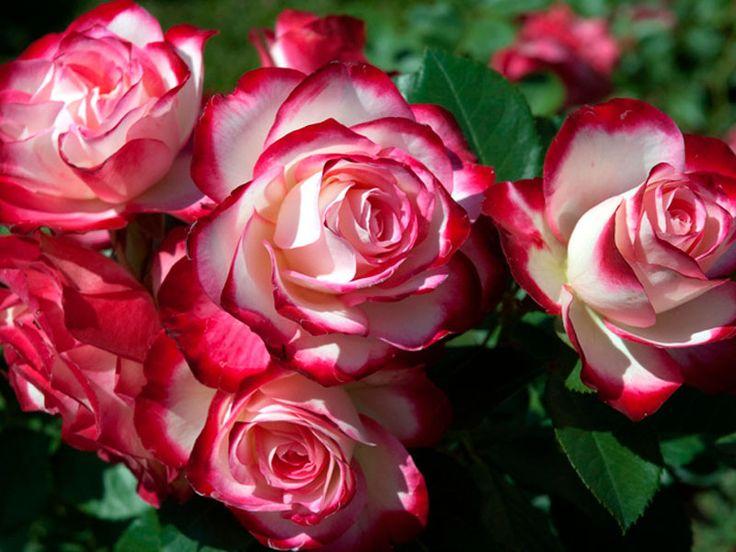 Роза Юбилей Принца Монако
