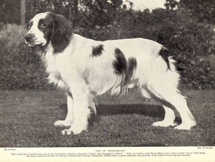 ENGLISH SPRINGER SPANIEL NAMED DOG HEAD STUDY ORIGINAL PRINT PAGE FROM 1934