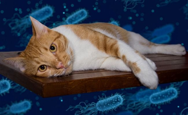 Bacteria 101 Meet The Microbes Living In And On Your Cat Cats Cat Health Pets