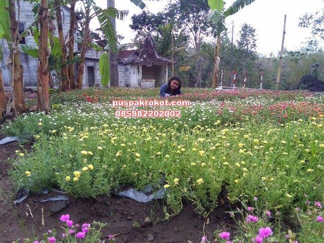 Bunga Warna Warni Krokot Import Premium387 Di 2021 Tanaman Bunga Toko Bunga