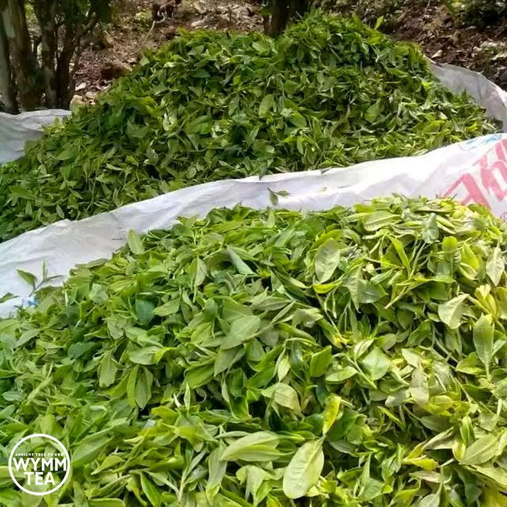 April is the busiest time in most parts of China for tea harvesting  #tea #harvest #china #spring #puerh #puer #tealover #teaaddict #teastagram #picoftheday #healthy #diet #green #organic #explore #wymmtea #中国茶 #普洱 #茶