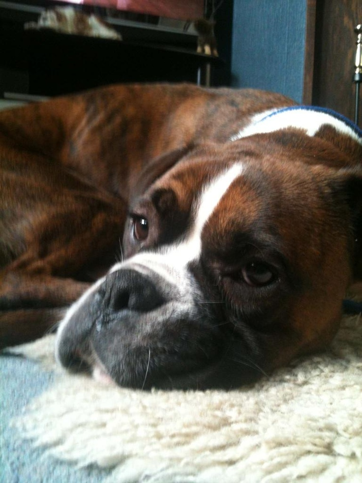 Happy Endings 2012 - Boxer Dog Rescue Northern England