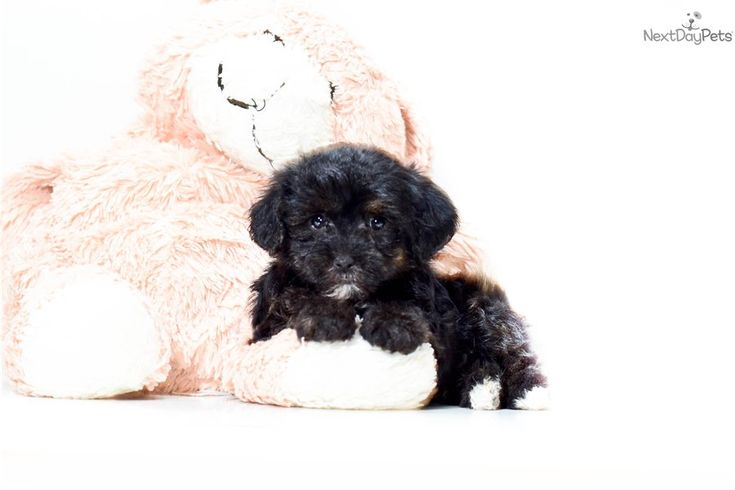 161 Best Images About Yorkiepoo On Pinterest Adoption
