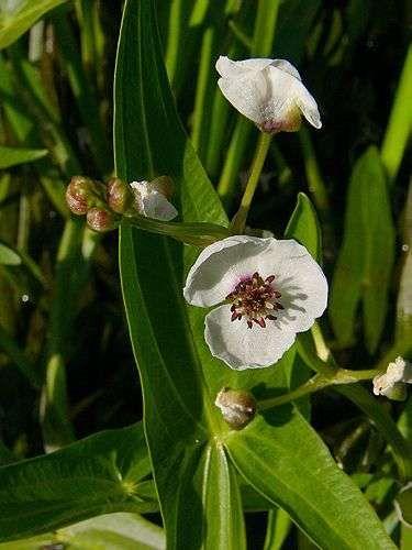 Sagittaria sagittifolia (Strzałka wodna) - Rośliny wodne, Lilie wodne | Sklep
