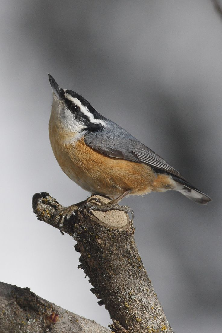 Red-breasted Nuthatch ... - find us now at TheNaturalCapital.com: Great Backyard Bird Count