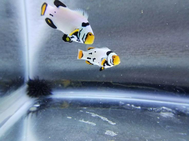 Pin On Breeding Pairs Of Aquarium Fish For Sale