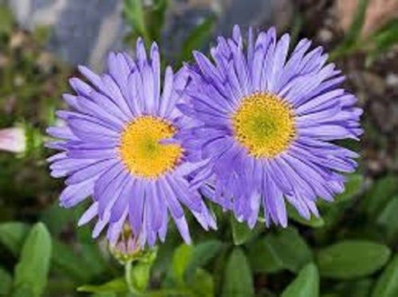 PERENNIAL 25 ASTER  RUDOLPH GOETHE  FLOWER SEEDS