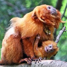 The IUCN classification of the Golden Lion Tamarin rose to Critically Endangered in 1996.