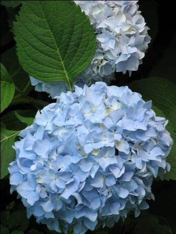 Hydrangea Growing Tips for Beginners: The hydrangea will change colors based on the soil that the plant is growing in. When you first purchase a hydrangea do not expect it to continue to bloom in the same color once you plant it in your yard as the composition of the soil is likely to change the color of this flowering plant. For a pink flower the soil must be more alkaline while a blue bud warrants a more acidic soil composition. As an advanced gardener you have the ability to change the color