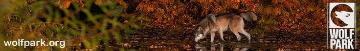 Wolf Park, near Prophetstown State Park https://www.facebook.com/WolfParkIN http://www.in.gov/dnr/parklake/2971.htm