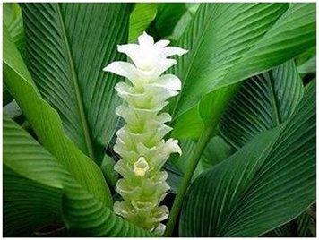 Turmeric-Curcuma alismatifolia     http://www.plantica.cz/navody/kurkuma-ruzne-druhy-curcuma-alismatifolia-mix/