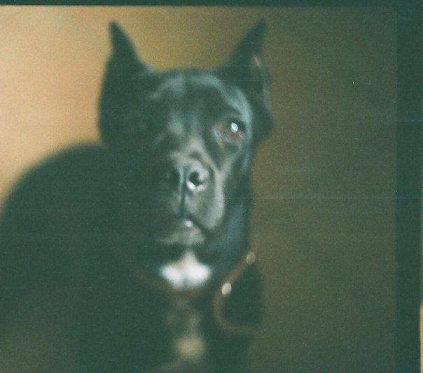 #собака #Канекорсо