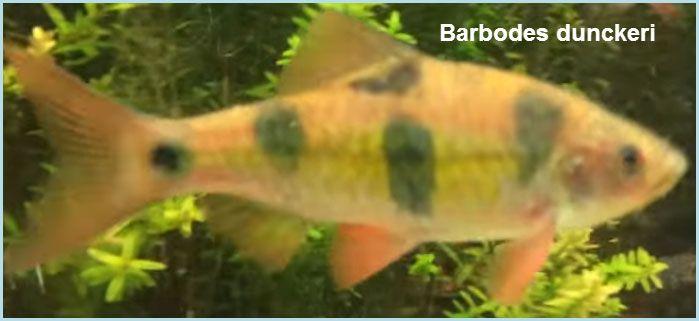سمك باربدوس Barbodes قوائم الاسماك قوائم انواع الاسماك معلومان عامه معلوماتية نبات حيوان اسماك فوائد Fish Pet Pets Animals