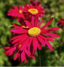 Tanacetum coccineum Robinson Red
