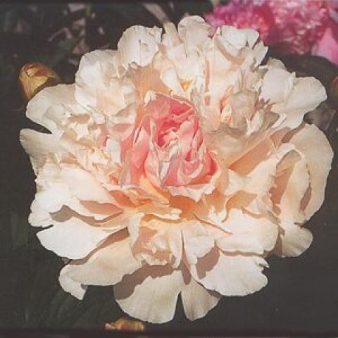 Mme Jules Dessert - PeoniamiA