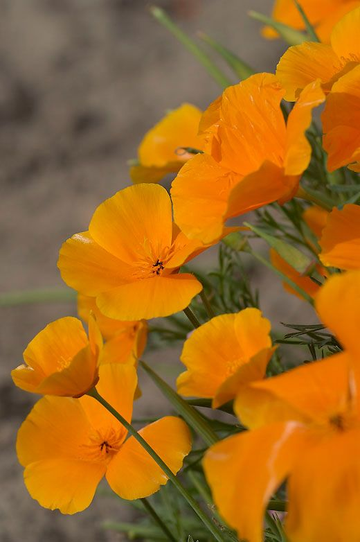 Eschscholzia californica, Sömntuta Orange, Ettårig 30cm