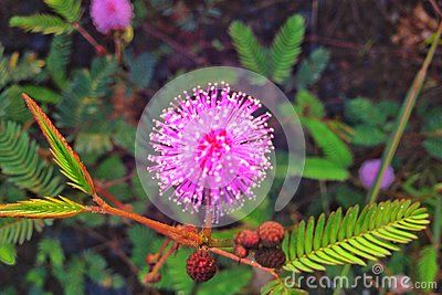 Mimosa Pudica - Download From Over 48 Million High Quality Stock Photos, Images, Vectors. Sign up for FREE today. Image: 78956078