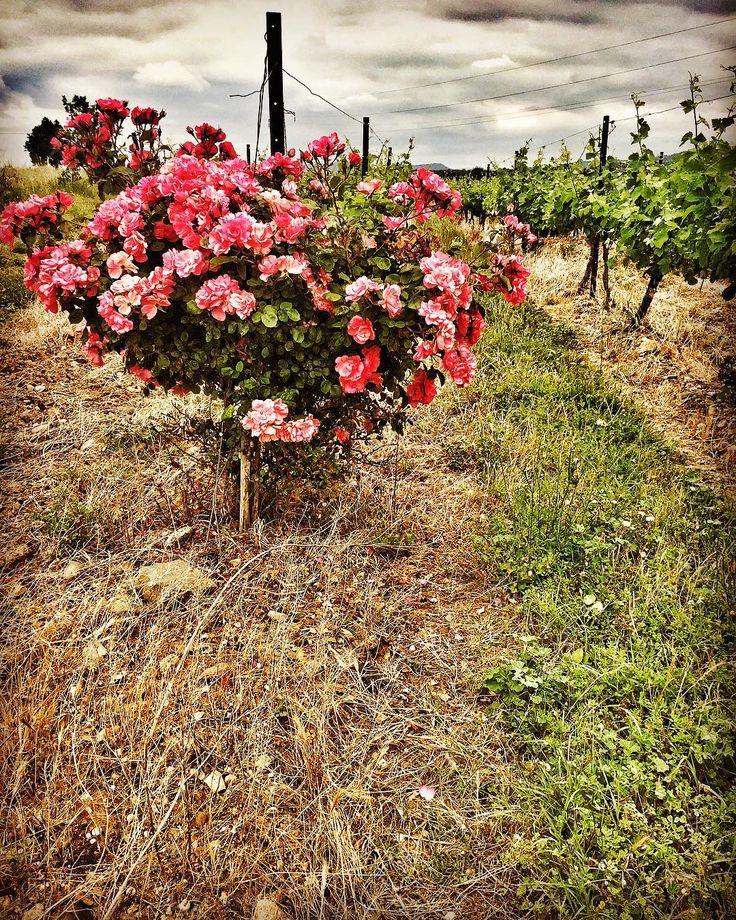 En Minervois aussi les rosiers cohabitent avec les vignes. Ici, au château Saint-Méry, entre Blomac et Marseillette #minervois #suddefrance #southoffrance #occitanie #languedocwine #blomac #marseillette #chateausaintmery #rose #flowers #instaflower #winemaker #naturewines