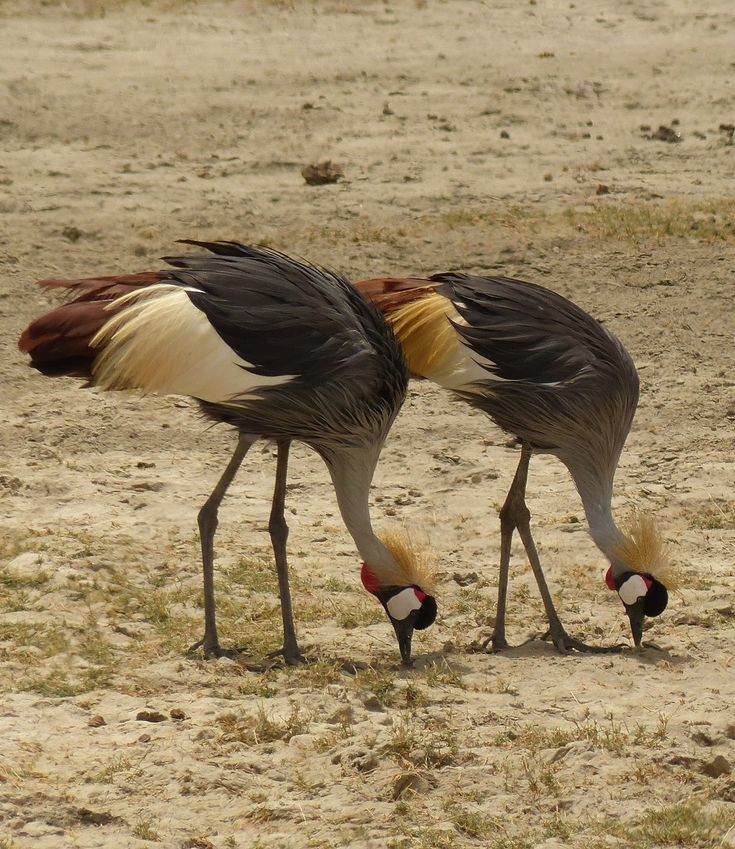 Picture of a pair of African grey crowned crane.