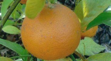 Tahiti narancs - (Citrus×jambhiri Buja 'Otaheite'): Citrusfélék   Ár: 8000.00 Ft