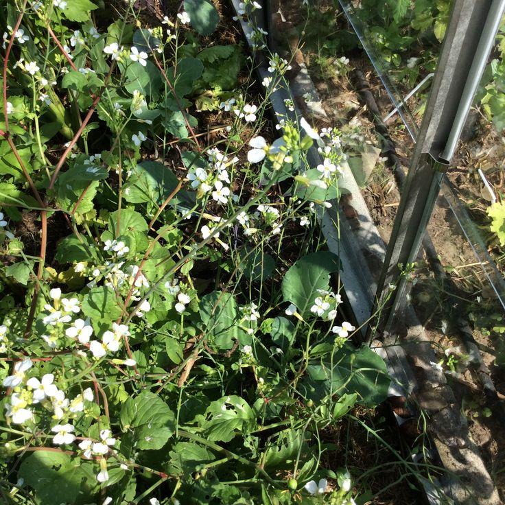 Langwerpige radijs, die bloeit, hij lijkt zo een beetje de koolplanten te beschermen die op die plek minder door rupsen worden gegeten