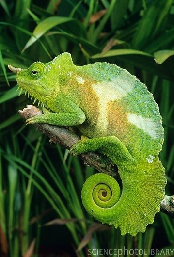 Male four-horned chameleons (Chamaeleo quadricornis) have between two and six horns and can reach up to 40 cm in length. Also known as Cameroon bearded chameleons,