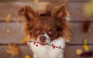 обои для рабочего стола 1920x1200 животные, собаки, осень, ягоды, ветка, собака