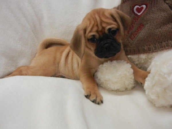 puggle puppies for sale in ct | Zoe Fans Blog