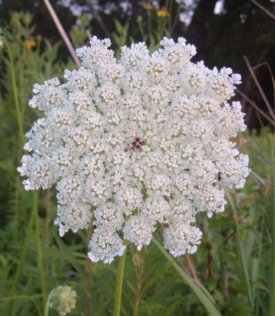 queen anne's lace ... see the red dot in the middle?  Queen Anne was beheaded.  Amazingly clear shot.  You don't always see the dot