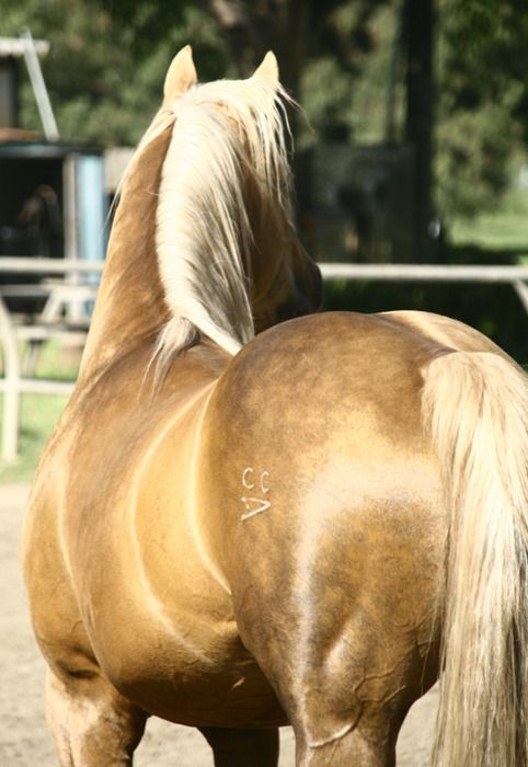 The 293 best Palominos images on Pinterest | Pretty horses ...