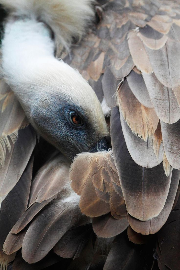 Cleaning is very important feathers for birds, especially for the vultures.